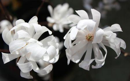 Magniola Stellata fleurs 2