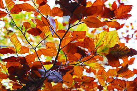 Feuillage d'automne forête de fontainebleau